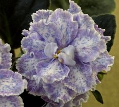Kristis Spunk Standard African Violet in Bloom | eBay  ~  LLG, 2008, #9931. Double light pink-white frilled star with a blue-fantasied light raspberry edge. Leaves dark green, ovate, quilted, red-backed. Large.