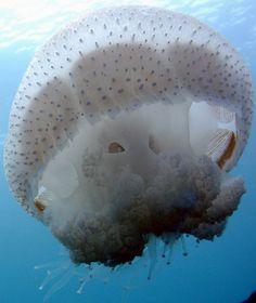 Jellyfish of Israel