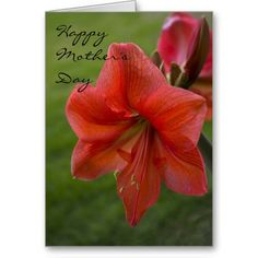 Amaryllis Mother's Day Greeting Card from Florals by Fred #zazzle #gift