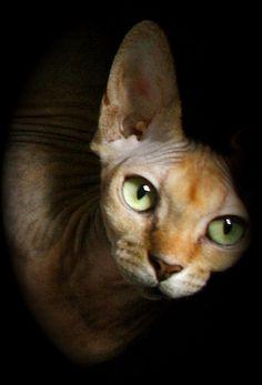 Sphynx cat   ..rh