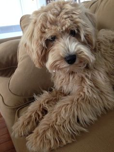 Mini goldendoodle Toby