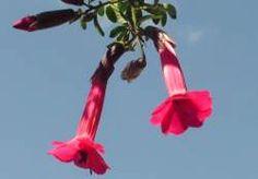 The Cantuta (often spelled kantuta or qantuta, from Quechua qantu) (Cantua buxifolia or Fuchsia buxifolia) is considered the National Flower of Peru.