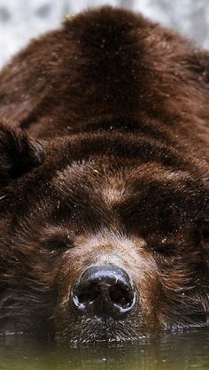 bear_brown_swimming_water_face_