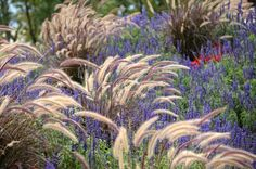 This desirable and long-lasting summer border is fairly easy to replicate in order to be enjoyed at home. Gloriously teaming up with the vertical purple-blue spikes of Salvia farinacea (Mealy-Cup Sage) are the long arching plumes of Pennisetum setaceu