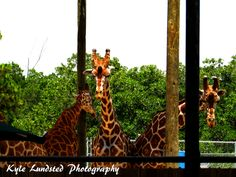 A couple giraffes waiting for food at Naples Zoo taken by a Canon PowerShot SX510 HS.