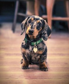 Love the blue merle Dachshund
