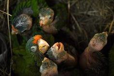 An orange parrot (Eupsittula canicularis), left, and catalnica (Brotogeris jugularis) chicks at El Tronador Wildlife Rescue Center in Berlin, El Salvador on February 20, 2017. Endangered species, victims of trafficking, are rescued and rehabilitated at a shelter.  Photograph: Marvin Recinos/AFP/Getty Images