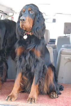 Gordon Setter #setters #canines #dogs #puppies #pets #companions #animals