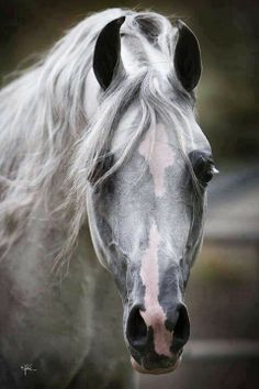 Arabian Horse - so gorgeous.