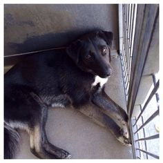 """ACE"" - The perfectly, over-looked dog in need of help at animal control! Ace is a handsome, healthy, friendly German shepherd mix who is kenneled at the San Bernardino City Animal Shelter in Calif. Information:  •Petharbor link here  •ID#A463771  •(909) 384-1304  •Facebook thread here"
