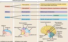 Kids Are NOT Just Mini-Adults (Brain Development)