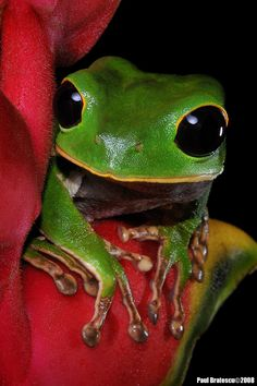 Alien Black-eyed Monkey Tree Frog (Phylomedusa gamba) Puerto Maldonado Rainforest Conservation Anuran, Peru - photo: Paul Bratescu on 500px
