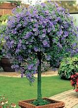 Potato bush blue (Solanum rantonnetii) s a deciduous shrub forming purple-blue flowers throughout the summer, followed by red decorative fruit in autumn which is popular with the birds. Grow in moist, well-drained soil in full sun, against a sunny wall.
