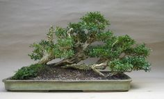 Raft bonsai- Ikadabuki