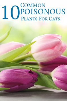 Did you know tulips are very poisonous to cats?  Find out which plants are dangerous to your feline friends!