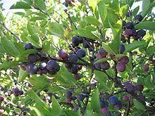 deciduous shrub, Prunus maritima (Beach Plum) is a species of plum native to the East Coast in its natural sand dune habitat growing 1–2 m high