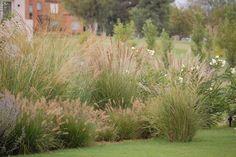 Miscanthus, Penisetum, Calamagrostis, Panicum, son algunas gramíneas que podemos utilizar en nuestra borduras. De porte grácil dan a nu...