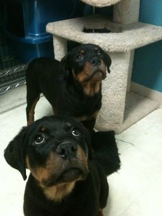 Eva and Lyssa - Rottweiler Love!!!