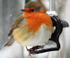 File:European Robin (Erithacus rubecula) In The Snow. Cute Birds, Pretty Birds, Small Birds, Colorful Birds, Little Birds, Beautiful Birds, Animals Beautiful, Robin Bird, Kinds Of Birds