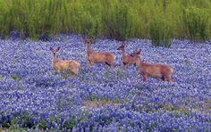 Deer in a field of bluebonnets! Gotta be Texas! Muleshoe Texas to be specific! via Peanut Country FB Only In Texas, Lake Travis, Loving Texas, Texas Bluebonnets, Texas Pride, Texas Hill Country, West Texas, Low Country, Texas Travel