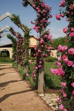 antique rose emporium...started ordering their roses around eight years ago.