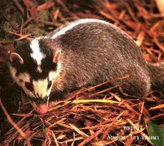 The Chinese ferret-badger, also known as the small-toothed ferret-badger,