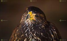 Ver y Conocer Extremadura - Foto - Aves usadas en cetrería (385193)