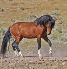 Gorgeous Wild Dark Bay Mustang Most Ancient Breed The