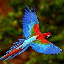 colorful birds in flight - Bing images Colorful Parrots, Colorful Animals, Colorful Birds, Tropical Forest, Tropical Birds, Exotic Birds, Tropical Animals, Rare Birds, Most Beautiful Birds