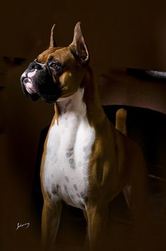 dogs are so the best kittens Boxer Cute puppies Boxer Breed, Boxer Bulldog, Boxer Puppies, Beautiful Dogs, Animals Beautiful, Cute Animals, I Love Dogs, Cute Dogs, Boxer Love