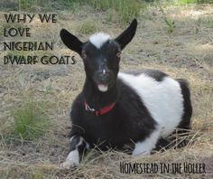 Nigerian Dwarf goats make a great addition to your homestead as a dairy goat.  Here are some reasons why we love them.