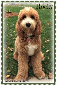 Check out our list of all upcoming Goldendoodle litters and Double Doodle litters below. Please fill out the puppy application and we will contact you. F1b Mini Goldendoodle, Labradoodle, Goldendoodles, Double Doodle, Love Doodles, Doodle Dog, Fur, Puppies, Dogs
