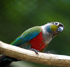 crimsom bellied conure