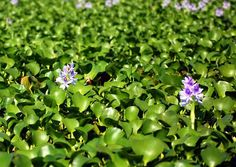 Water hyacinths are a nuisance plant that spread faster in polluted water. Using them to create biogas offers an efficient and cost-effective solution to keep their growth in check, a Chinese scientist says. Current latest trending Philippine headlines on science, technology breakthroughs, hardware devices, geeks, gaming, web/desktop applications, mobile apps, social media buzz and gadget reviews.