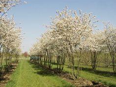 Amelanchier lamarckii   meerstammige bomen   Pinterest   Spring