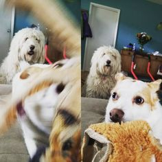 That moment you realize the kid just saw you do something you told her not to... #oswin #oswinsbooks #norrbottenspets #nanny #nannydog #nannylife #goldendoodle #dog #dogs #dogtoy #caughtintheact #nannylife