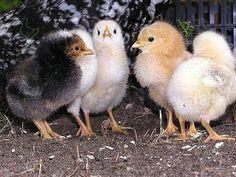 Когда цыплята появляются на свет, то их тело покрыто не перьями, а нежным пушком. В какие же сроки этот пух заменяется на перья? http://kurinyjdom.ru/razmnozhenie-kurits/kogda-u-tsyplyat-poyavlyaetsya-operenie.html