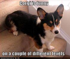 Corgi levels...I bet dachshunds do this too
