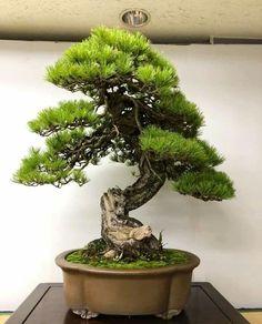 Pine Bonsai, Bonsai Art, Bonsai Garden, Bonsai Trees, Tropical Flowers, Ikebana, Indoor Outdoor, Gardening, Landscape