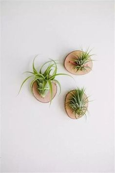 Gorgeous Air Plant Display Ideas Don't you just love air plants? They are just the most adorable plants are they are of the easiest plants to care for too! Here are Gorgeous Air Plant Display ideas perfect for any home! Plant Wall, Plant Decor, Easy House Plants, Air Plant Display, Succulent Display, Display Wall, Succulent Planters, Air Plant Terrarium, Diy Terrarium