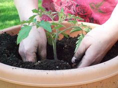 Container Gardening: How to Plant Vegetables in Pots - For Dummies