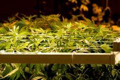 Marijuana is California's Largest Cash Crop, By Far