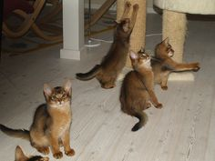 Somali kittens ready for play (2007)