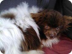 Hastings, MN - Papillon/Pomeranian Mix. Meet Dash a Dog for Adoption.