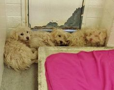 These triplets are super cute but tired from getting used to their kennel. Please take a look at them and SHARE, they need some help. Thanks!  #A4797438 I'm an approximately 5 month old female West Highland White Terrier mix https://www.facebook.com/171850219654287/photos/a.172032662969376.1073741830.171850219654287/366907463481894/?type=3&theater  #A4797439 I'm an approximately 2 month old female... See More — with Debbie Robarge, Jennifer Ingman, Cindy Willis and 22 others. Sharon…