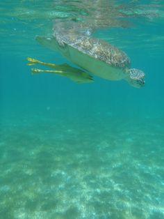 Turtle with Remora, Akumal, Mexico