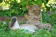 Lions in Chobe National Park #safari #Botswana