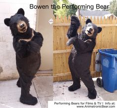 """""""Bowen"""" the Bear - realistic bear costume for TV, commercials, virals..."""