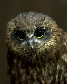 Chouette tachetée de Tasmanie - A Morepork Owl from new Zealand. The sound they make when they call is how they got their name ! The Animals, Funny Animals, Beautiful Owl, Animals Beautiful, Wise Owl, Tier Fotos, Birds Of Prey, Flying Birds, Mundo Animal