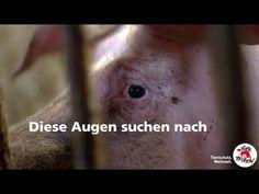 #EndtheCageAge 📣 Die Zeit Käfighaltung endgültig aus Europa zu verbannen ist da❗ Gemeinsam mit eurer Hilfe haben wir es geschafft und letztes Jahr über 1,5 Millionen Unterschriften für ein Ende der Käfighaltung in der EU gesammelt. Die Europäische Bürgerinitiative, an der 170 Organisationen gemeinsam gearbeitet haben, war ein voller Erfolg! Dank euch gibt es jetzt eine echte Chance, die Situation von mehr als 300 Millionen sogenannten Nutztieren 🐔🐮🐷 zu verbessern. Am 2. Oktober werden… Animals, Europe, Farm Animals, Animal Welfare, First Aid, Animales, Animaux, Animal, Animais